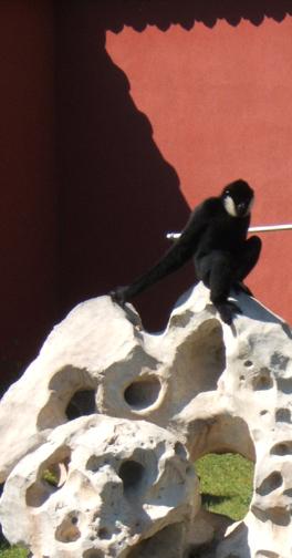 Gibbon on rock formation837