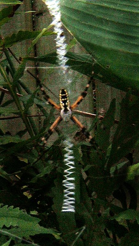 Garden Spider_74
