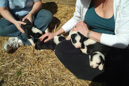 Gatlinburg puppies on our laps88lr