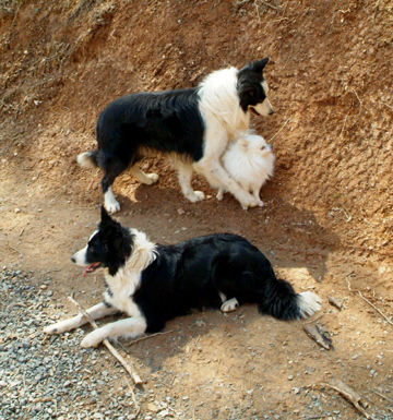 Gatlinburg vickies dogs jake echo and zoey64lr