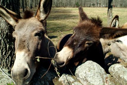 Gatlinburg donkies!86lr