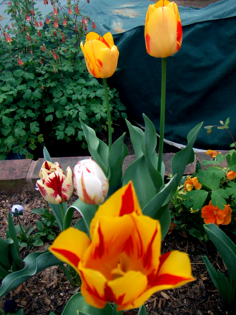 Row of tulips looking into throat493