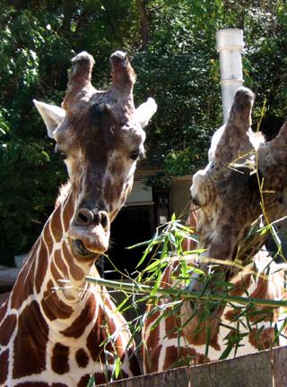 Giraffes close up846