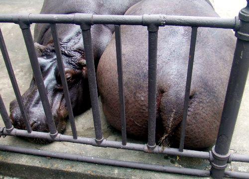 Zoo hippo sleeping with son big butt