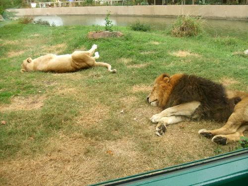 Surprise zoo lazy lions192_RT