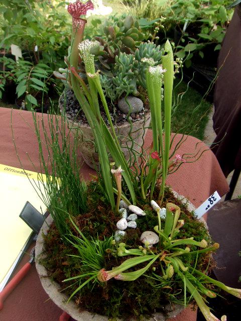 Farmer's market pitcher plant