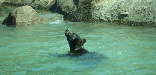Teton trek grizzly swimming