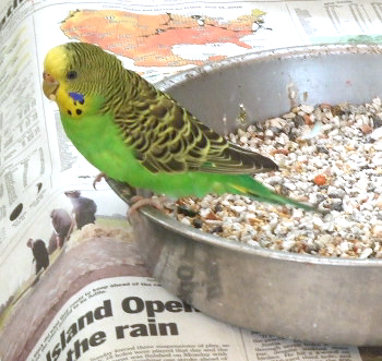 Budgie in a dish