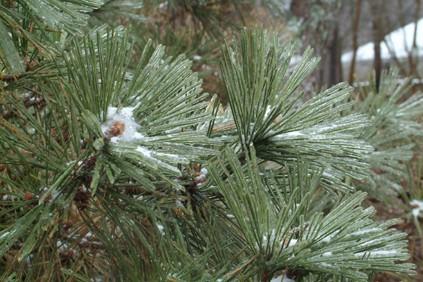Snow 2010 pine under glass
