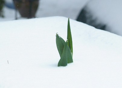 Snow 2010 tulip in the snow