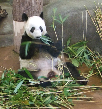 Zoo 2010 ya ya snacking leaves in mouth