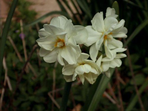 Daffodil white cluster522