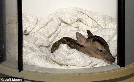 One pound deer incubator