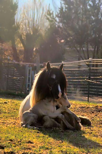 Horse foal in lap