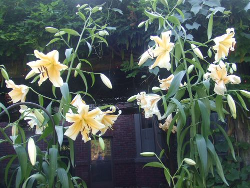 Giant Lilies