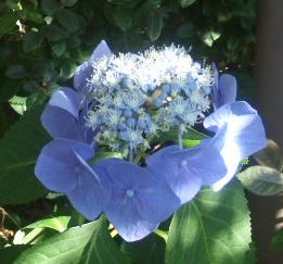 Backyard blue Hydrangea