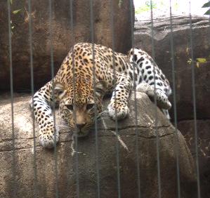 Zoo jaguar full face lounge
