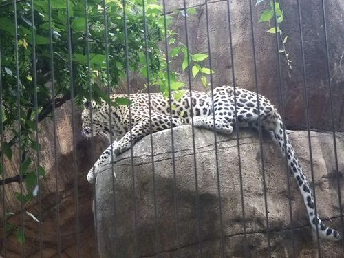 Zoo jaguar lounging
