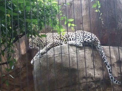 Zoo jaguar lounging