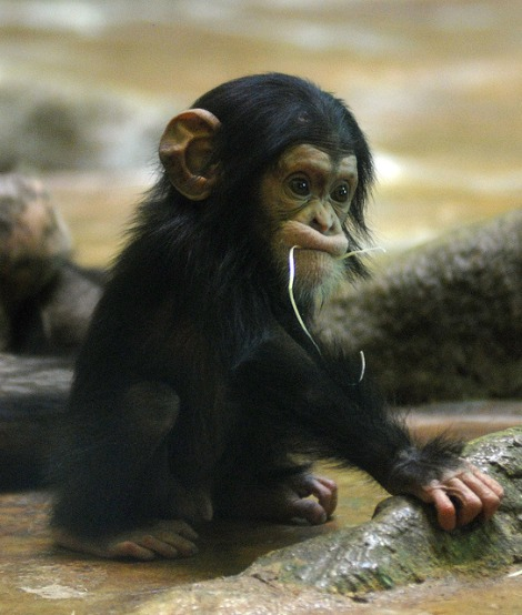 Zooborns baby chimp funny sweet face