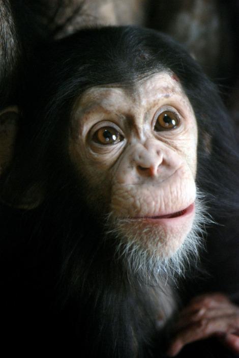 Zooborns baby chimp wonder face