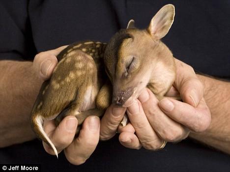 One pound deer in hand sleeping