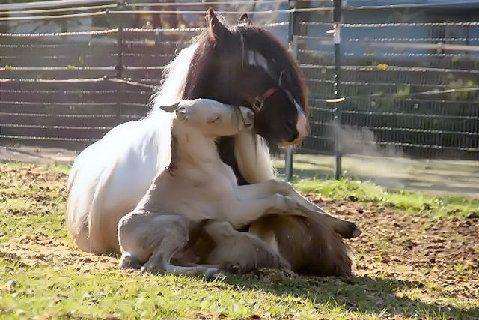 Horse foal kissing mom
