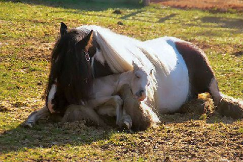 Horse foal naps in mom's lap