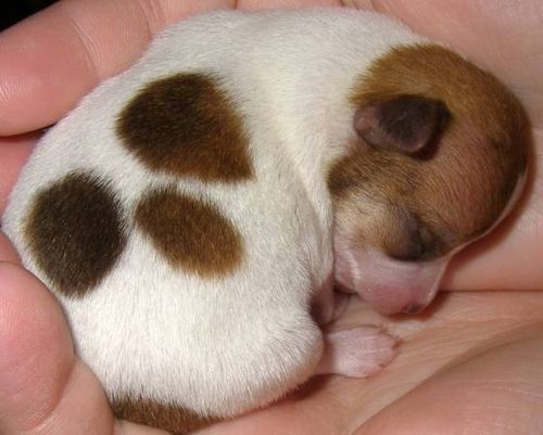 Tiny puppy asleep in hand