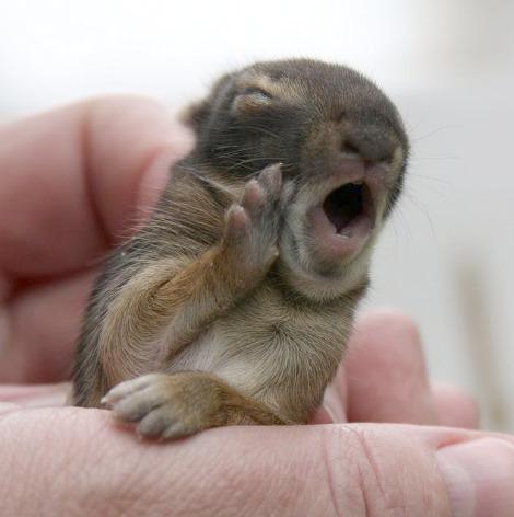 Baby bunny yawning