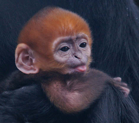 Zooborns languar baby tongue out
