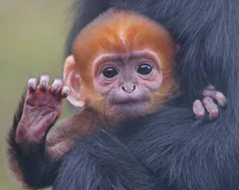 Zooborns languar baby hi