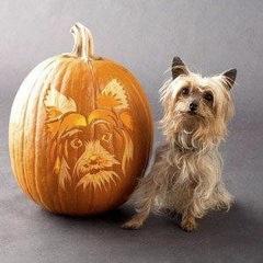 Pumpkin yorkie