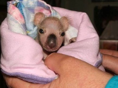 Koala infant swaddled