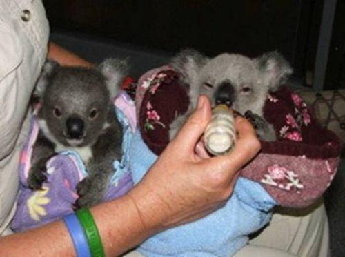Koala infant twin feeding