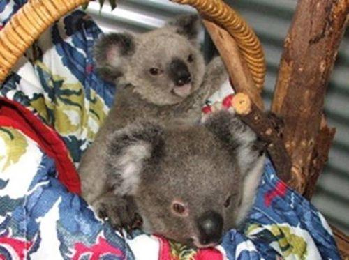 Koala infant twins in a basket