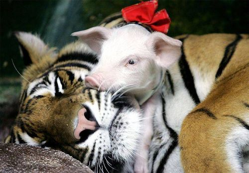 Tiger pig love snuggle