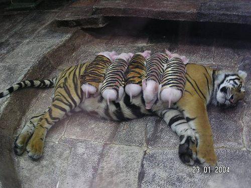 Tiger pig love piglets on top
