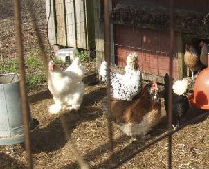 Chickens99