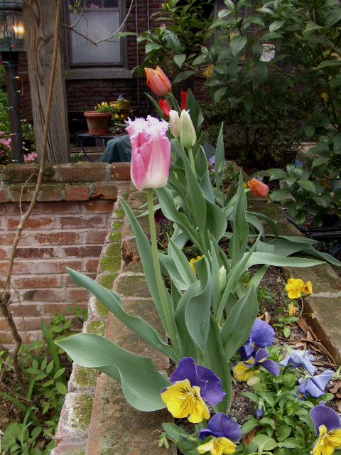 Tulips022