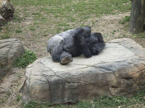 Gorilla75