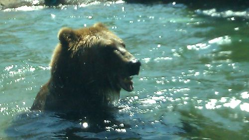 Zoo grizzly swimming