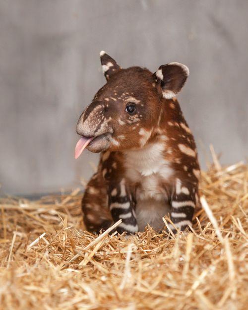 Tapir tounge