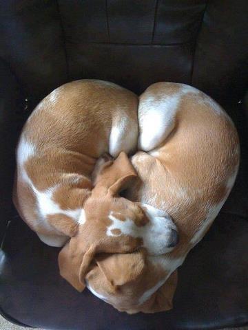 Valentine puppies
