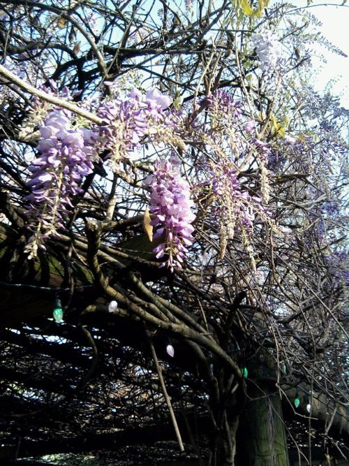 Wisteria cose up