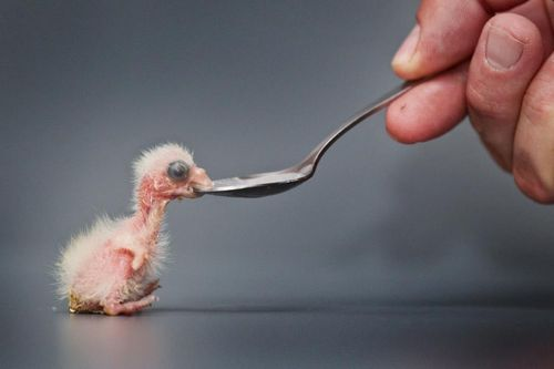 Zooborns baby fig parrot
