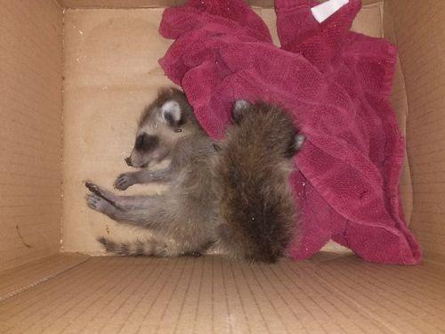 Raccoon cubs 1